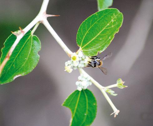 Lebah madu sidr