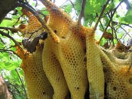 Sarang lebah di pohon sidr